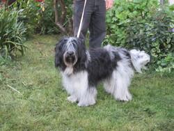Jutha Raqui Vh Haskerhus, chien Schapendoes néerlandais