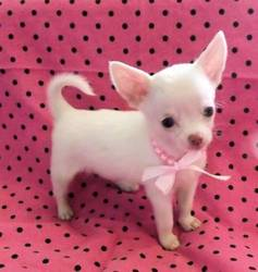 Juvestine, chien Chihuahua