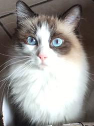 Juvia, chat Ragdoll