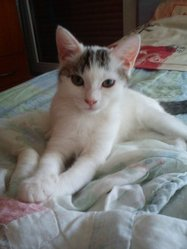 Juvia, chat Européen