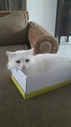 Juyah, chat Angora turc