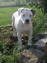 Jyllia, chien American Staffordshire Terrier