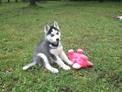 Jyna, chien Husky sibérien