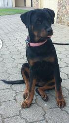 Jypsi, chien Rottweiler