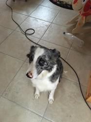 Jypsie, chien Bouvier bernois