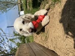 Jypsie, chien Beagle