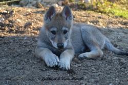 Jyrkhos De La Louve Blanche, chien Chien-loup tchèque