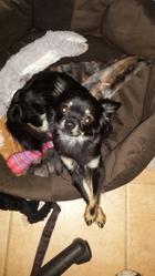 Jyxie, chien Chihuahua