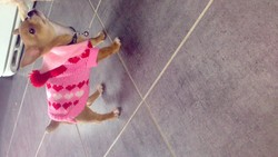 K-Lys, chien Chihuahua