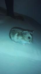 K'Nel, rongeur Hamster