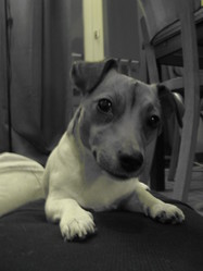 K-Wet, chien Jack Russell Terrier