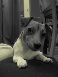 K-Wet, chien Jack Russell Terrier