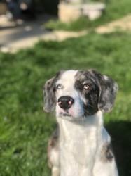 Kaena, chien Beagle