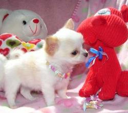 Kacha, chien Chihuahua