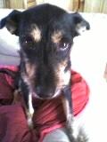 Kaela, chien Lévrier polonais