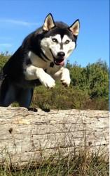 Kahlan, chien Husky sibérien