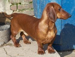 Kai, chien Teckel