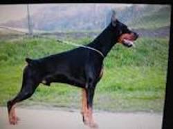 Kai, chien Dobermann
