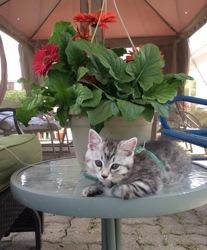Kaila, chat Gouttière