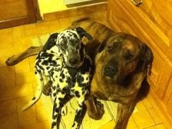Kaila, chien Dalmatien