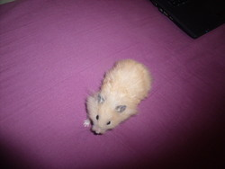 Kailie, rongeur Hamster
