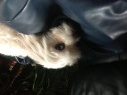 Kailly, chien Bichon maltais