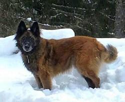 Kailo, chien Berger belge