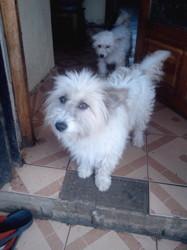 Kailou, chien Bichon maltais