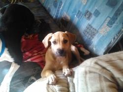 Kaina, chien Boxer