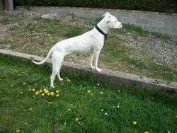Kaina, chien Dogue argentin