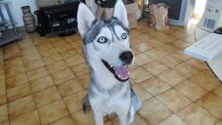 Kaine, chien Husky sibérien