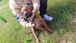Kairon, chien American Staffordshire Terrier