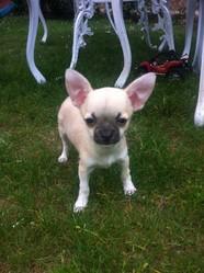 Kais, chien Chihuahua