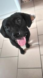 Kaiser, chien American Staffordshire Terrier