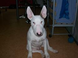 Kaiser, chien Bull Terrier