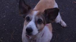 Kaissy, chien Berger des Shetland