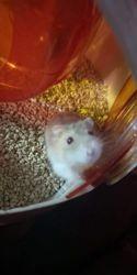 Kaixs, rongeur Hamster