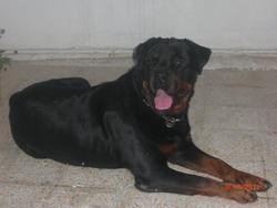Kaizer, chien Rottweiler
