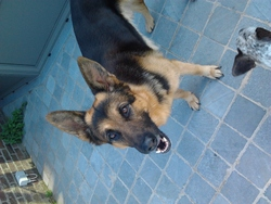 Kaizer, chien Berger allemand