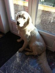 Kaizer, chien Golden Retriever