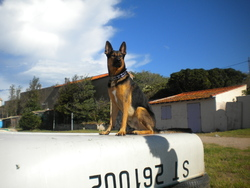 Kaizz, chien Berger allemand