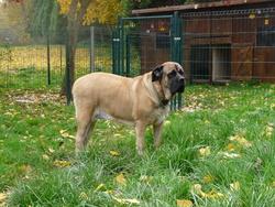Kaja, chien Mastiff