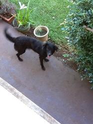 Kaki, chien