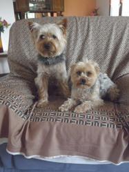 Kakou, chien Yorkshire Terrier