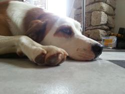 Kala, chien