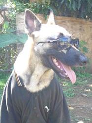 Kalash, chien Berger belge