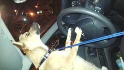 Kalash, chien Shiba Inu