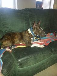 Kalhya, chien Bull Terrier