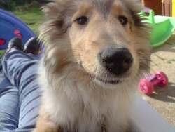Kali, chien Colley à poil court