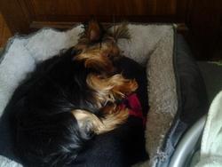 Kali, chien Yorkshire Terrier